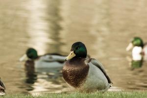 duck-2090633_1920